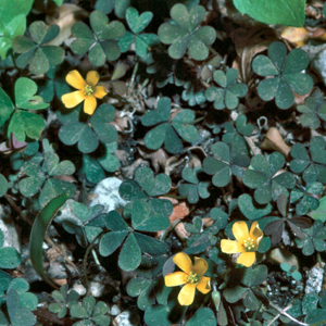 Oxalis corniculata var. atropurpurea